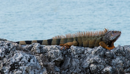 Iguana sunning its self on the rocks beside the sea Stock Photo