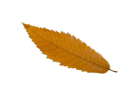 castanea sativa: Sweet chestnut leaf (Castanea sativa) in autumn colour, isolated on white.