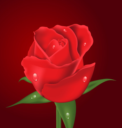 Illustration close-up beautiful realistic rose on red background  Vector