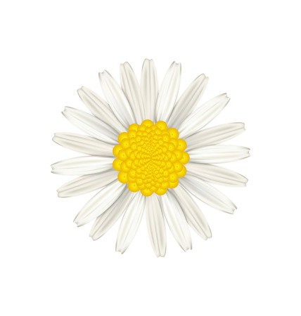 camomiles macro: Illustration camomile flower isolated on white background - vector