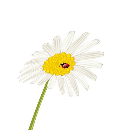 camomile flower: Illustration closeup camomile flower with ladybug isolated on white background - vector Stock Photo
