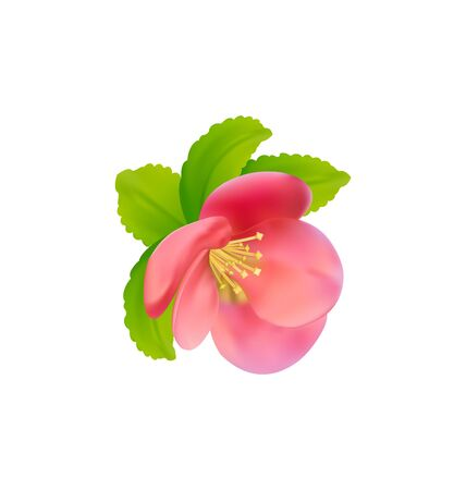 quince: Illustration flower of Japanese Quince (Chaenomeles japonica) isolated on white background - vector Illustration