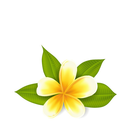 subtropical: Illustration frangipani with leaves, exotic flower isolated on white background - vector