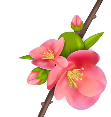 ébredés: Illusztráció ág rügyek japán birs (Japánbirs) virágzik, tavasz ébredése, elszigetelt, fehér, háttér - vektor,