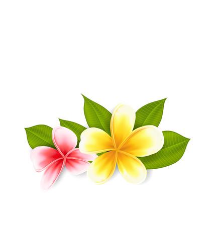 Illustration pink and yellow frangipani (plumeria), exotic flowers isolated on white background