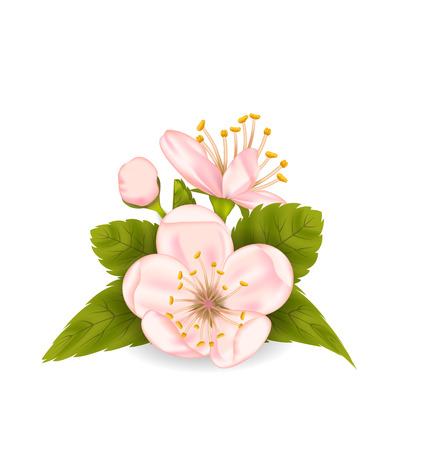 Illustration Cherry Blossom with Leaves Isolated on White Background - Vector Vector