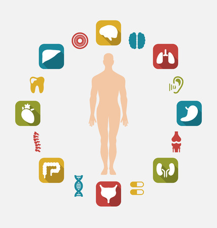 intestino grueso: Ilustración Info gráfico de órganos humanos internos