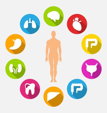 Illustratie Silhouet van mannelijke en Interne menselijke organen