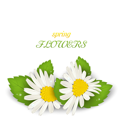 daisyflower: Illustration Camomile Flowers with Shadows on White Background. Spring Flowers - Vector Illustration