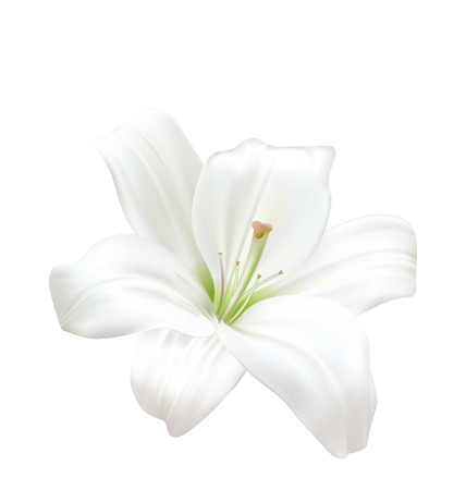 white lily: Illustration Photo-realistic Beautiful White Lily Isolated On White Background - raster