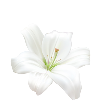 white lily: Illustration Photo-realistic Beautiful White Lily Isolated On White Background - Vector