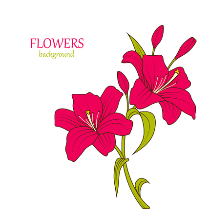 lily flowers: Illustration Linear Colored Sketch of Beautiful Lily Flowers Isolated on White Background. Hand Drawn Background - Vector