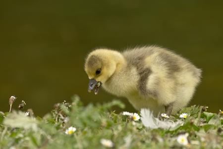 progeny: Eating ducklings