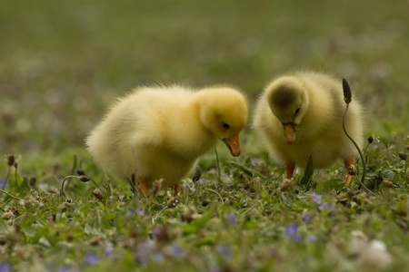 Two curious ducklings photo