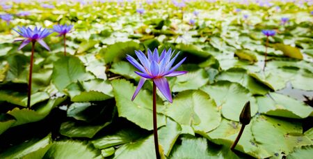 blue Lotus flower panoramas Banque d'images - 130797598