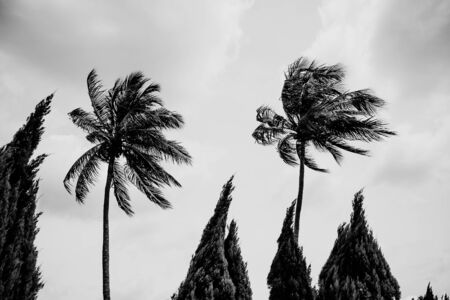black and white Palm trees bend in the wind Stok Fotoğraf