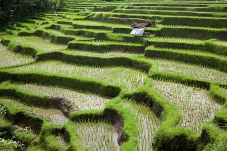 Rice fields Stock Photo - 15970773