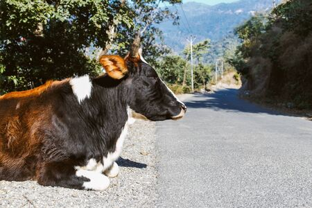 india cow: Portrait of cow, on the road near by Rishikesh, India