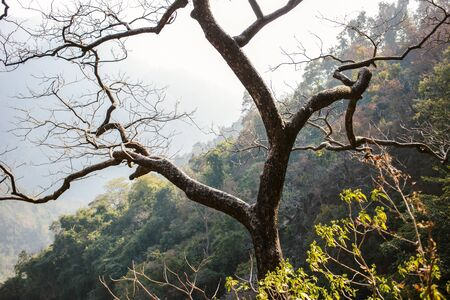 ancient yoga: Lonely tree in Himalayan Mountains, Rishikesh, India