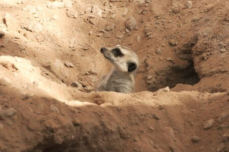 adapted: Meerkat on guard
