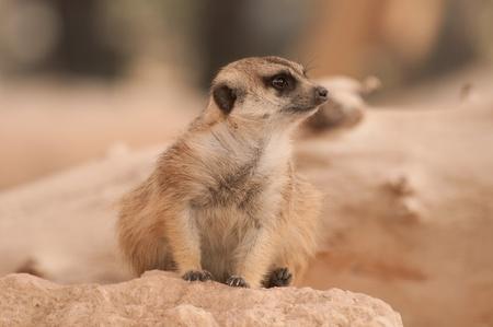 suricatta: Meerkat on guard