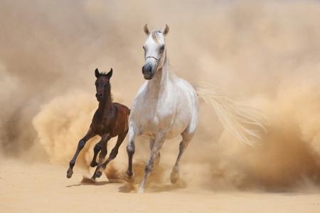 アラビア馬と子馬の砂漠の嵐作戦が不足しています。 写真素材