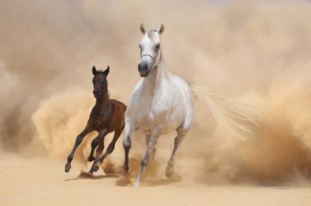 desert storm: Arabian Mare and foal running out of the Desert Storm Stock Photo
