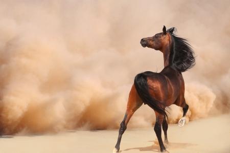desert storm: Caballo �rabe corriendo de la Tormenta del Desierto Foto de archivo