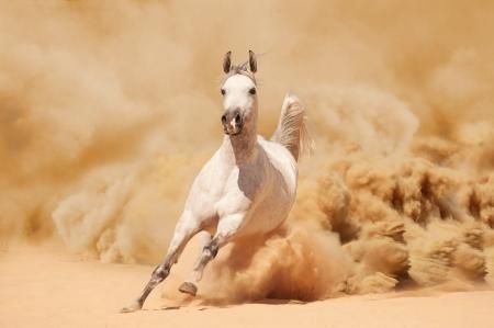 animales del desierto: Caballo �rabe corriendo de la Tormenta del Desierto Foto de archivo