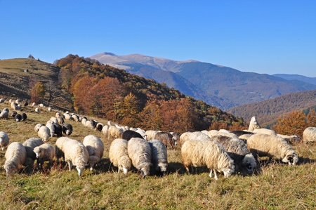 Sheeps on a hillside in an autumn landscape under the dark blue sky.  Stock Photo