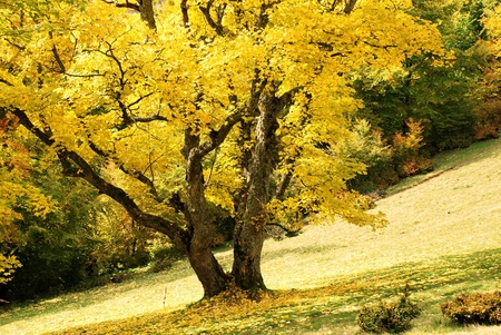 An autumn landscape with trees in yellow foliage on a hillside. photo