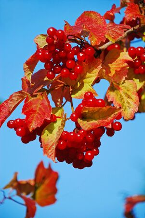 guelderrose: A branch of a guelder-rose with red fruits against the sky.
