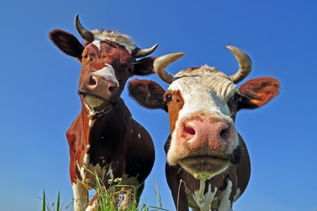 Cows on a summer pasture in a rural landscape under the dark blue sky
