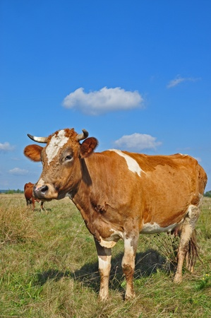 Cow on a summer pasture Stock Photo - 9068101