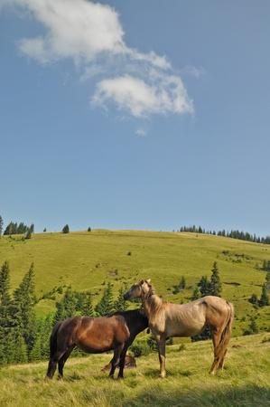 hillside: Horses on a hillside