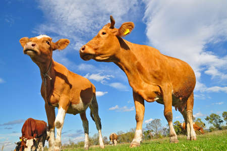 Cows on a summer pasture Stock Photo - 9482417