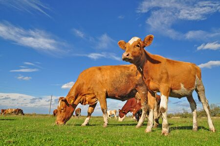 Cows on a summer pasture Stock Photo - 9482531