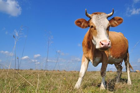 Cow on a summer pasture Stock Photo - 9482577