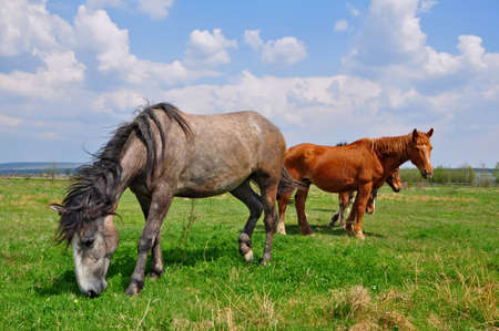 horseflesh: Horses on a summer pasture.