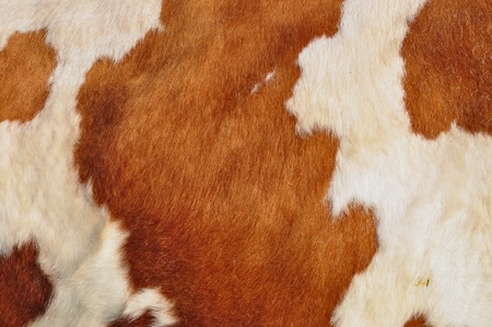 cuero vaca: Fragmento de una piel de vaca