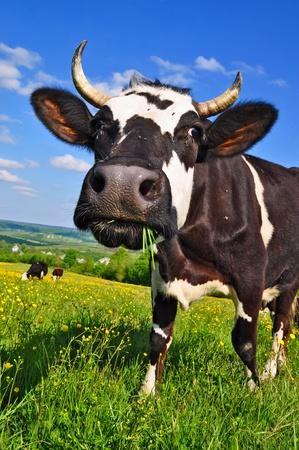 milchkuh: Kuh auf einer Weide Sommer Lizenzfreie Bilder