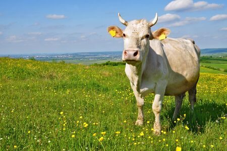 Cow on a summer pasture Stock Photo - 9664228