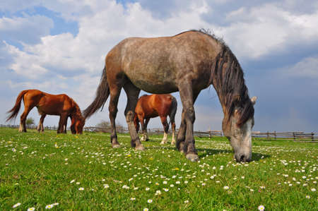 horseflesh: Horse on a summer pasture.