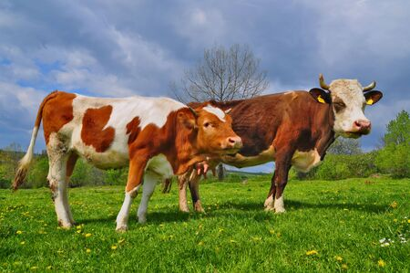 Cows on a summer pasture Stock Photo - 9664072