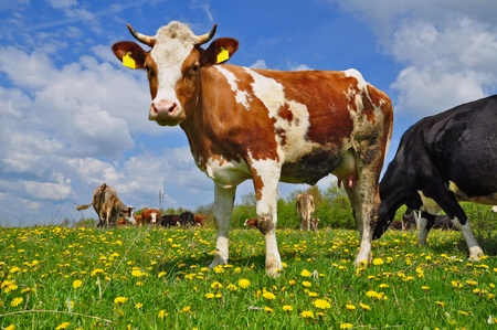 Cow on a summer pasture Standard-Bild