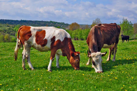 Cows on a summer pasture Stock Photo - 9683117