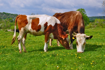 Cows on a summer pasture Stock Photo - 9684811