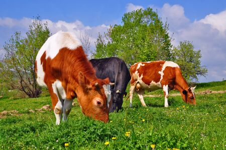 Cows on a summer pasture Stock Photo - 9684702