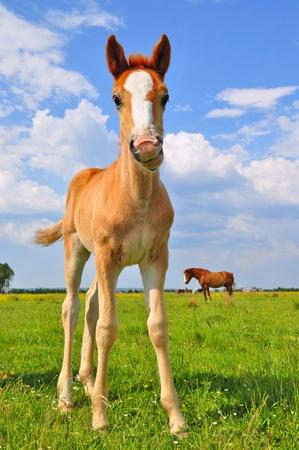merrie: Foal op een zomer weiland