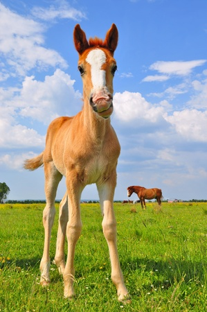 Foal on a summer pasture Standard-Bild